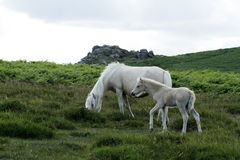 Dartmoor Palomino Mare & Foal Royalty Free Stock Photos
