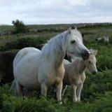 Dartmoor-Palomino-Stute Stockbild