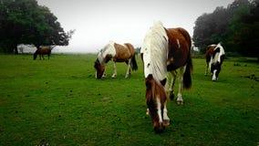 Dartmoor parka narodowego koniki Dartmoor Devon uk fotografia royalty free