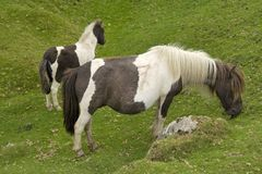 Dartmoor ponies Royalty Free Stock Images