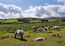 Dartmoor ponies. Group of wild ponies or horses grazing on a field, Dartmoor, Devon, England, UK Royalty Free Stock Image