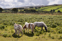 Dartmoor ponies. A group of three wild ponies or horses grazing on a field in English countryside; Dartmoor, Devon, England, UK Stock Images