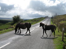 Dartmoor ponies. Walking accross main road accross Dartmoor, Devon, England Stock Photos