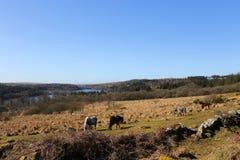 Dartmoor Ponies above Burrator Lake. Dartmoor Ponies grazing in the winter above Burrator lake in Dartmoor National Park, Devon UK Royalty Free Stock Photo