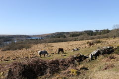Dartmoor Ponies above Burrator Lake. Located in Dartmoor National Park Devon UK Royalty Free Stock Photography