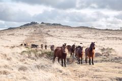 Dartmoor ponies bellever tor dartmoor royalty free stock images