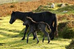 Dartmoor ponies Royalty Free Stock Images