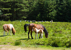 Dartmoor Ponies Devon at Bronze Age stone circle Stock Photo
