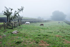 Dartmoor Ponies in the Fog, Dartmoor, South Devon, England. Partly fenced in with dry stone walls, two dartmoor ponies continue to graze as the light fades Stock Photography