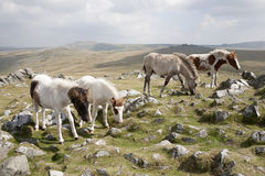 Dartmoor ponies. Graze on Cox Tor, Devon royalty free stock photography