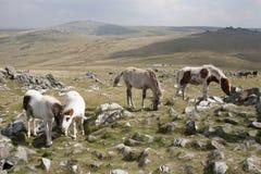 Dartmoor Ponies. Ponies graze on Cox Tor, dartmoor, Devon, UK Royalty Free Stock Photos