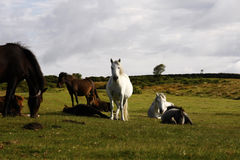 Dartmoor ponies grazing the slopes of Haytor Stock Images