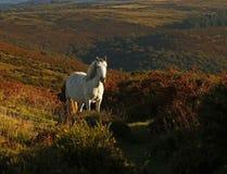 Dartmoor ponies Stock Photo