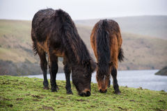 Dartmoor ponies. With Medlon reservoir in the background. Taken on a dull February day Stock Image