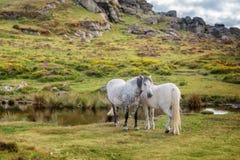 Dartmoor Ponies near Saddle Tor, Dartmoor, Devon UK. Dartmoor Ponies near Saddle Tor, Dartmoor, Devon, UK stock photo
