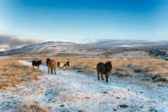 Dartmoor Ponies. In the snow with Staple Tor in the background Stock Photography