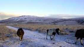 Dartmoor ponies stock video footage