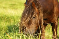 Dartmoor ponies stallion & mare royalty free stock images