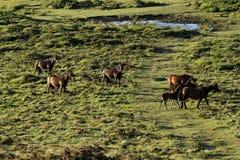 Dartmoor Ponies Stock Images