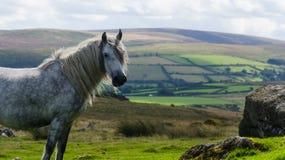 Dartmoor ponny Royaltyfria Bilder