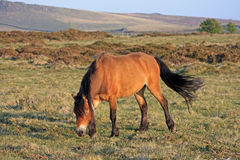 Dartmoor ponny Fotografering för Bildbyråer