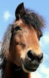 Dartmoor ponny Arkivbild