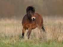 Dartmoor ponny royaltyfria foton