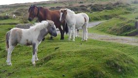 Dartmoor ponnyer Fotografering för Bildbyråer