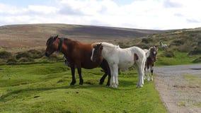 Dartmoor ponnyer Arkivbilder