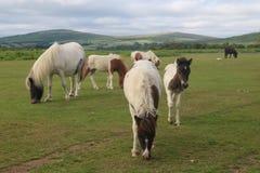 Dartmoor ponnyer Arkivfoton