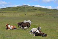 Dartmoor ponnyer i den Dartmoor nationalparken, England arkivbilder