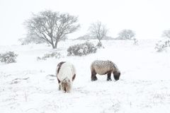 Dartmoor ponnyer i snödartmoor Royaltyfri Foto