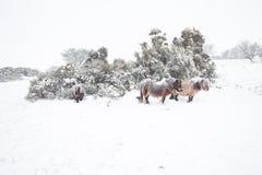 Dartmoor ponnyer i snödartmoor arkivbilder
