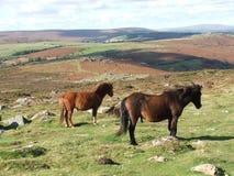 Dartmoor ponnyer på Haytor Devon UK Royaltyfria Foton
