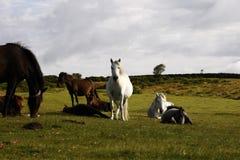 Dartmoor ponnyer som betar lutningarna av Haytor Arkivbilder