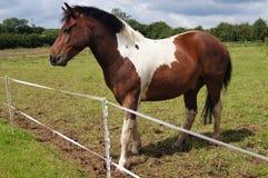 Dartmoor Pony. Dartmoor cross stewbald pony standing in a field Royalty Free Stock Photography