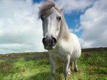 Dartmoor Pony Stock Photography