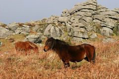 Dartmoor pony. Wild ponies in front of tor on Dartmoor Stock Photo