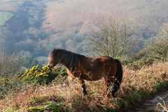 Dartmoor pony. Standing at top of hill Stock Photography
