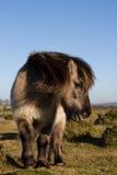 Dartmoor Pony. Wild Dartmoor Pony standing on the moorland Stock Photography