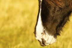 Dartmoor pony muzzle. Dartmoor pony close up his muzzle near the ground Royalty Free Stock Photo