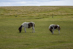 Dartmoor Pony Devon England Reino Unido Fotografia de Stock