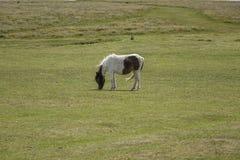 Dartmoor Pony Devon England UK Royaltyfri Bild