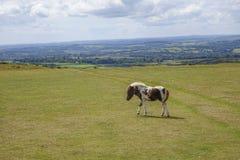 Dartmoor Pony Devon England UK Arkivfoto