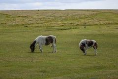 Dartmoor Pony Devon England UK Arkivbild