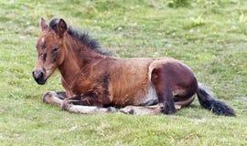 A Dartmoor Pony Foal, Devon, England Stock Image