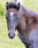 A Dartmoor Pony Foal, Devon, England Royalty Free Stock Images