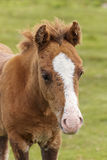 A Dartmoor Pony Foal, Devon, England Stock Photo