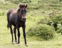 A Dartmoor Pony Foal, Devon, England Royalty Free Stock Image