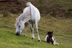 Dartmoor pony and foal. Grey Dartmoor pony grazing on a slope with foal lying nearby stock photos
